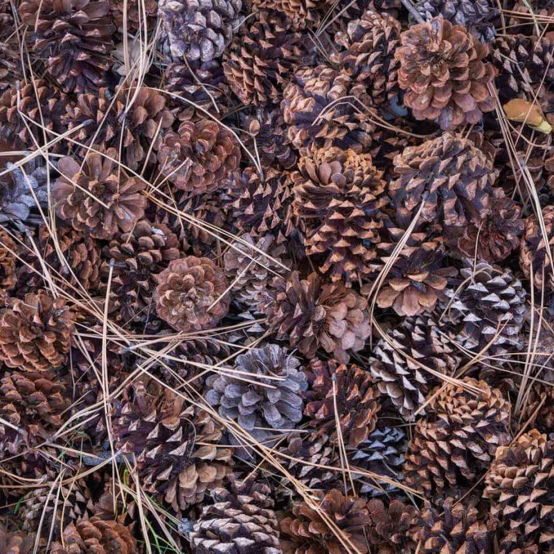 Fallen needles and pinecones below a massive ponderosa tree in Zion National Park.