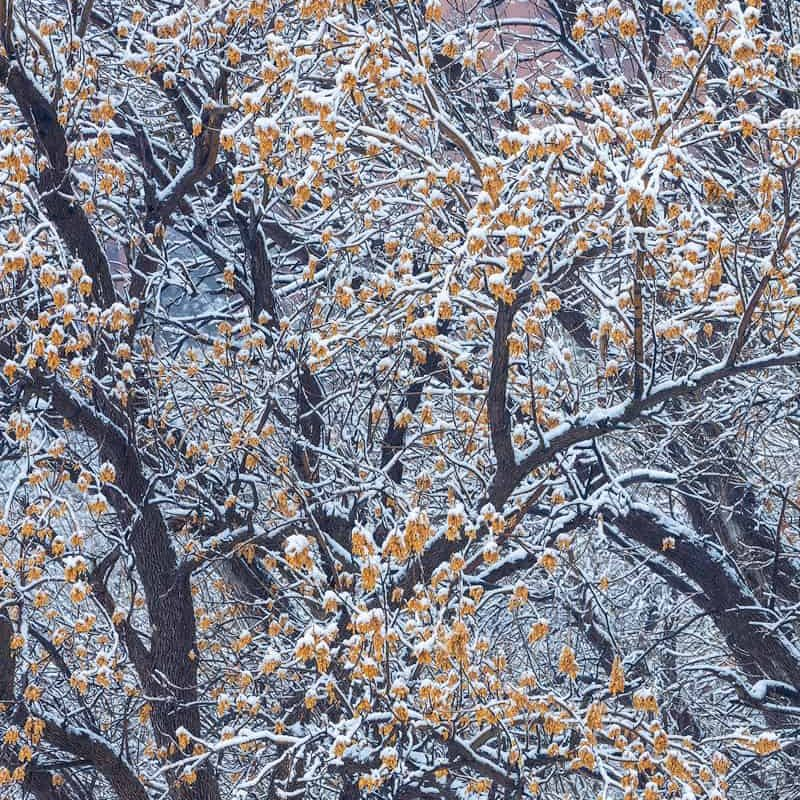 A light dusting of snow covers a tree in Zion National Park.